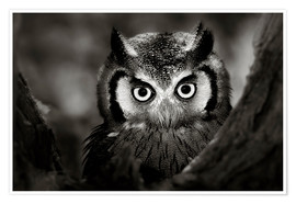 Póster Premium  White-faced Owl perched in a tree - Johan Swanepoel