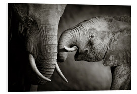 Quadro em PVC  Baby elephant interacting with Mother - Johan Swanepoel