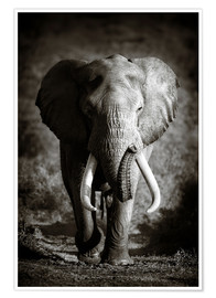 Póster Premium  Elephant with huge tusks approaching - Johan Swanepoel