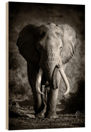Quadro de madeira  Elephant with huge tusks approaching - Johan Swanepoel