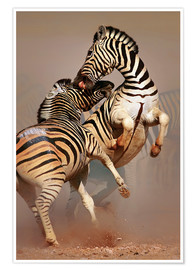 Póster Premium  Two Stallions fighting and biting with raised legs - Johan Swanepoel