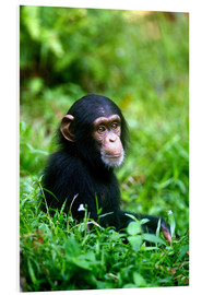 Quadro em PVC  Chimpanzee in the jungle