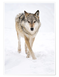 Póster Premium  Gray Wolf in Snow