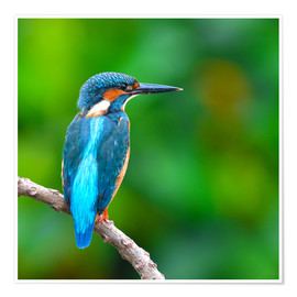 Póster Premium  Kingfisher in blue turquoise