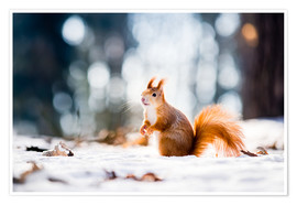 Póster Premium  Squirrel looking for its nut
