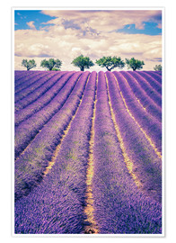 Póster Premium  Lavender field with trees in Provence, France