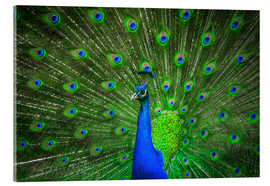 Quadro em acrílico  beautiful peacock with feathers
