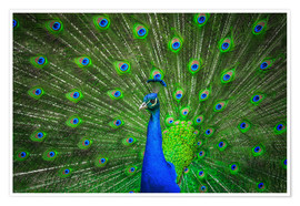 Póster Premium  beautiful peacock with feathers