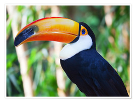 Póster Premium  Giant toucan in Brazil