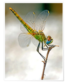 Póster Premium  dragon-fly