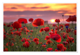 Póster Premium Poppies in sunset