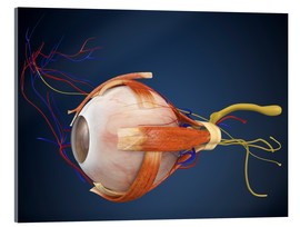 Quadro em acrílico  Human eye with muscles and circulatory system.