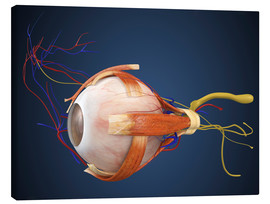 Quadro em tela  Human eye with muscles and circulatory system.