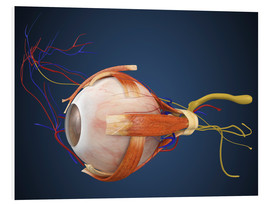Quadro em PVC  Human eye with muscles and circulatory system.