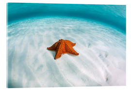 Quadro em acrílico  A West Indian starfish on the seafloor in Turneffe Atoll, Belize. - Ethan Daniels