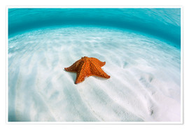 Póster Premium  A West Indian starfish on the seafloor in Turneffe Atoll, Belize. - Ethan Daniels
