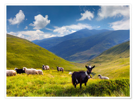 Póster Premium  Herd of sheep and goats in the mountains
