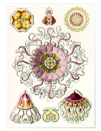 Póster Premium  Crown quill, periphylla periphylla - Ernst Haeckel