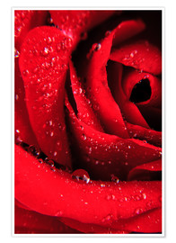 Póster Premium  Red rose with water drops