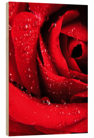 Quadro de madeira  Red rose with water drops