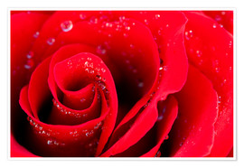 Póster Premium  Red rose bloom with dew drops