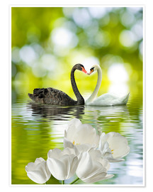 Póster Premium  Two swans in love