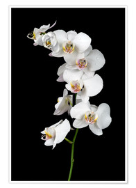 Póster Premium  White orchid on a black background