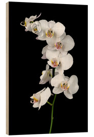Quadro de madeira  White orchid on a black background