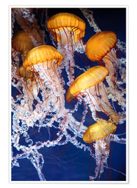 Póster Premium  Yellow jellyfish in the ocean