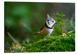 Quadro em alumínio  Cute tit standing on the forest ground - Peter Wey