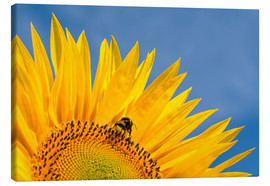 Quadro em tela  Sunflower against blue sky - Edith Albuschat