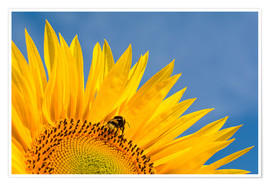 Póster Premium  Sunflower against blue sky - Edith Albuschat