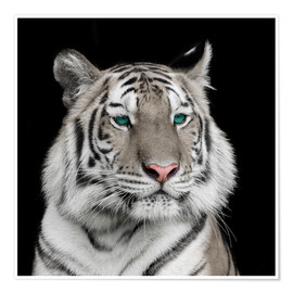 Póster Premium  Sumatran tiger with turquoise eyes