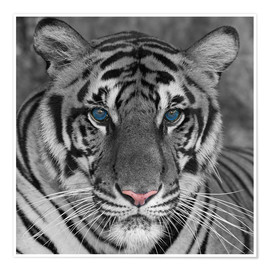 Póster Premium  Tiger with color accents