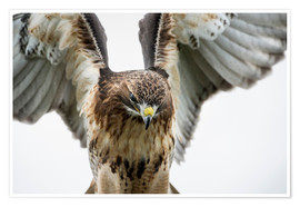 Póster Premium  Red-tailed hawk (Buteo jamaicensis), bird of prey, England, United Kingdom, Europe - Janette Hill
