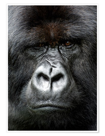 Póster Premium  Silverback gorilla looking intensely, in the Volcanoes National Park, Rwanda, Africa - Matt Frost