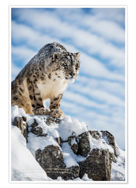 Póster Premium  Snow leopard (Panthera india) - Janette Hill