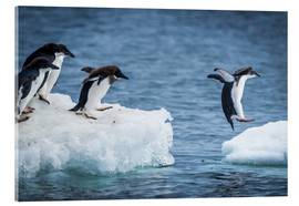 Quadro em acrílico  Adelie penguins between two ice floes - Nick Dale
