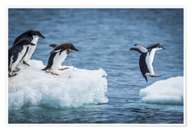 Póster Premium Adelie penguins between two ice floes