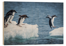 Quadro de madeira  Adelie penguins between two ice floes - Nick Dale