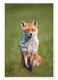 Póster Premium Red fox