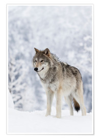 Póster Premium  Tundra Wolf in snow - Doug Lindstrand