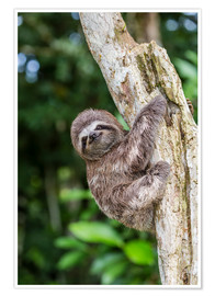 Póster Premium  Brown-throated sloth - Michael Nolan