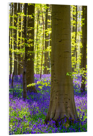 Quadro em PVC  Beech forest in early spring - Jason Langley