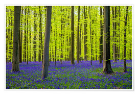 Póster Premium  Bluebell flowers in early spring - Jason Langley