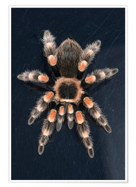 Póster Premium  Mexican Red Knee Tarantula - Janette Hill