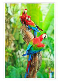 Póster Premium  Group of dark red macaws