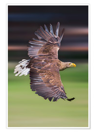 Póster Premium  Flying white-tailed eagle - Frank Fischbach