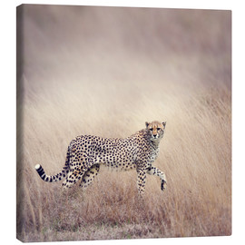 Quadro em tela  Cheetah on the hunt