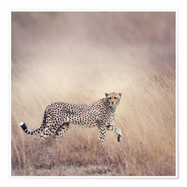 Póster Premium  Cheetah on the hunt